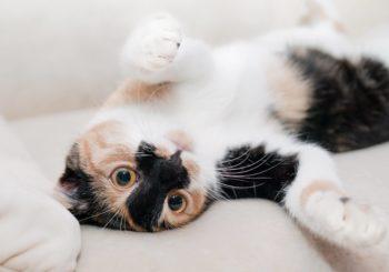Cómo eliminar el olor a gato